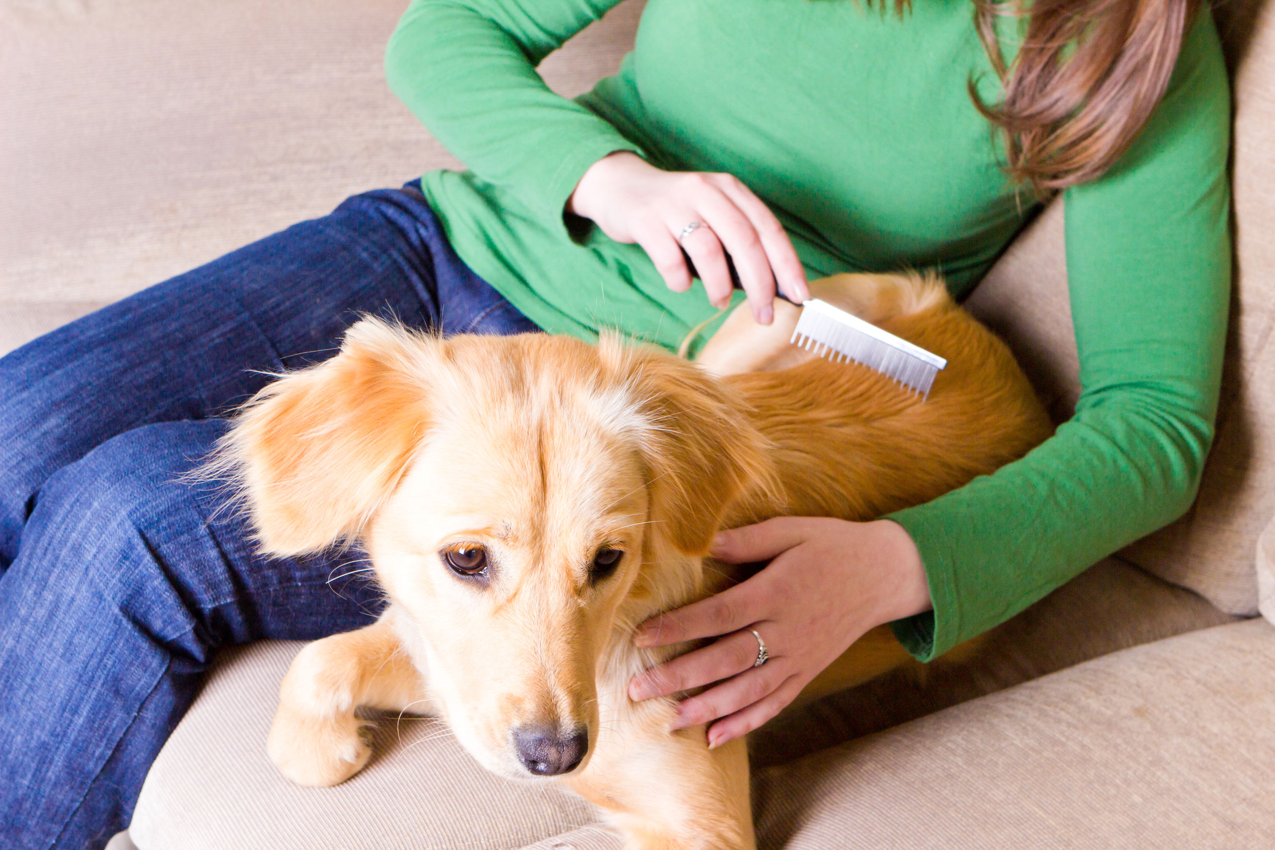 Young girl sitting on couch and combing her dog