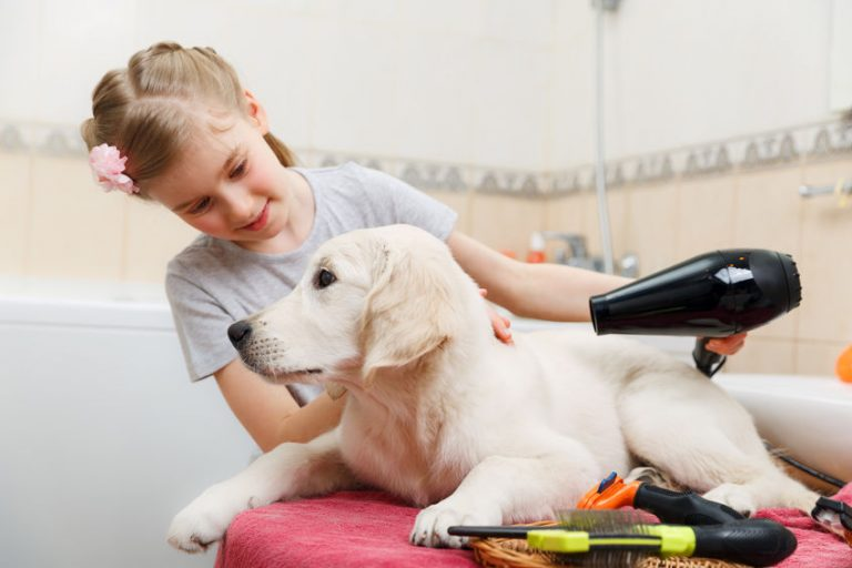 Girl owner is grooming the fur of retriever puppy after shower