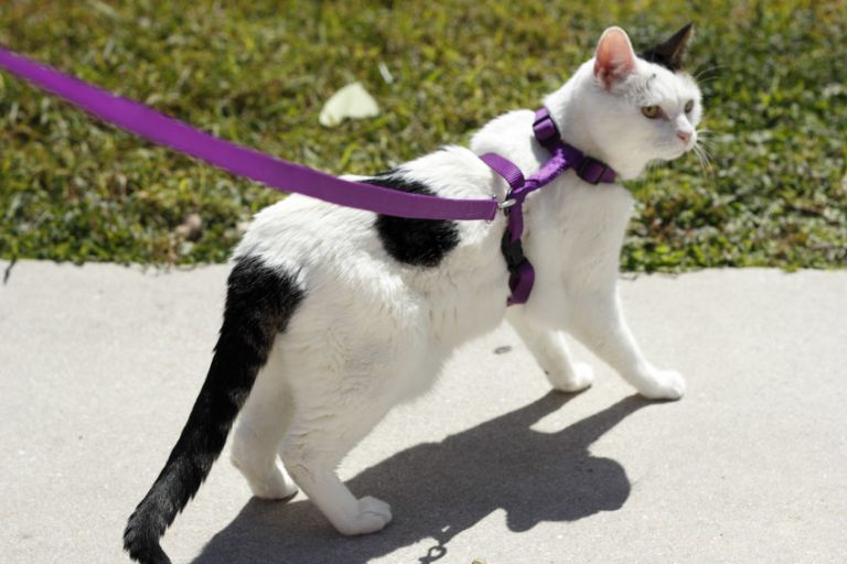 White and black adult, female, short hair cat looking to the side, standing on a sidewalk while wearing a purple harness on her upper body attached to a leash held by out of sight pet owner.